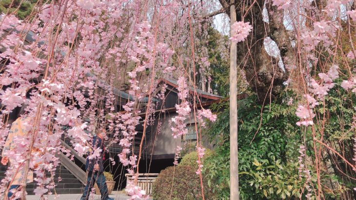 【山梨県】桜情報*パワースポット身延山久遠寺のしだれ桜の見どころ案内
